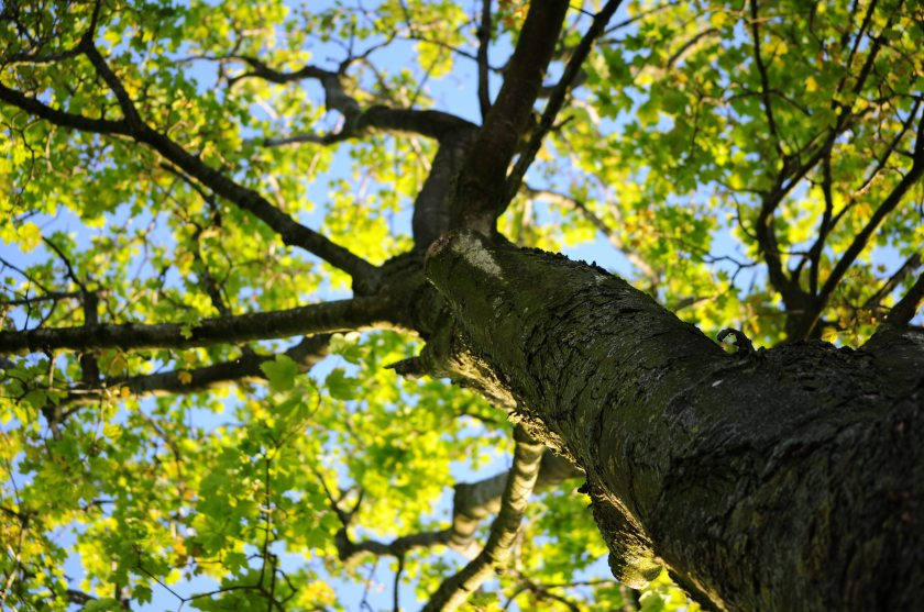 bark-leaves-maple-4258